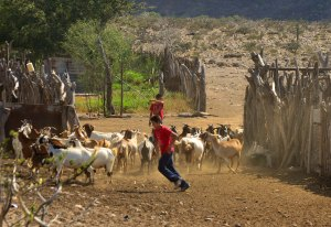 Herding Goats